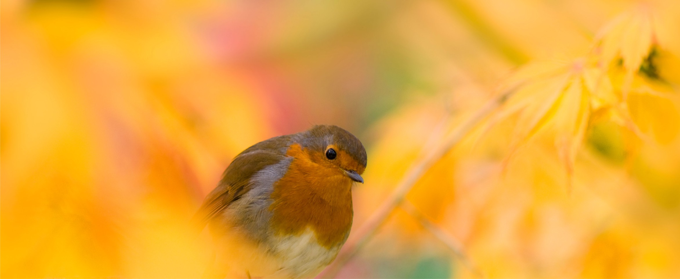 Picture of a robin