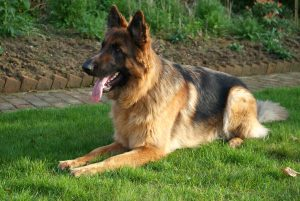 German Shepherd Dog Bobo